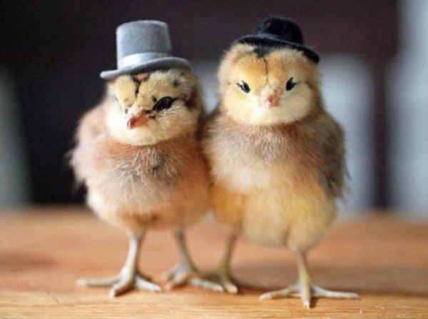 Определить цвет у суточных цыплят можно по оперению