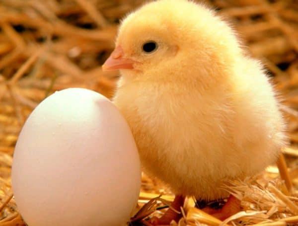 Птенцам в возрасте одной недели дают ячменную, пшеничную и овсяную крупы, смешанные в равных пропорциях