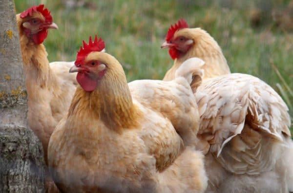 Использование лекарств при лечении алопеции позволяет значительно ускорить процесс выздоровления птиц
