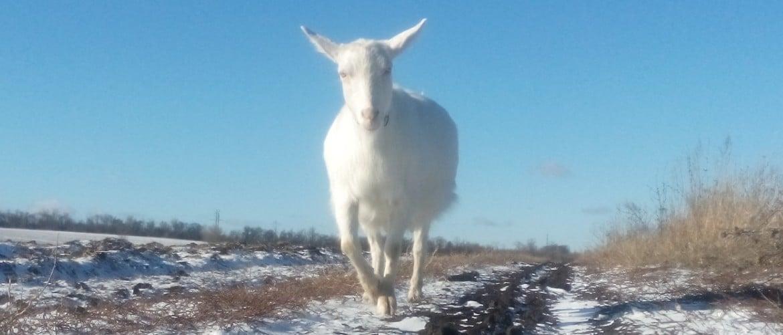 Беременная коза как называется