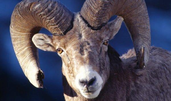 Дикий горный козел