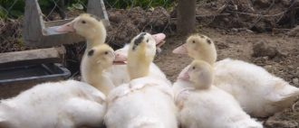 Сколько дней утка высиживает яйца