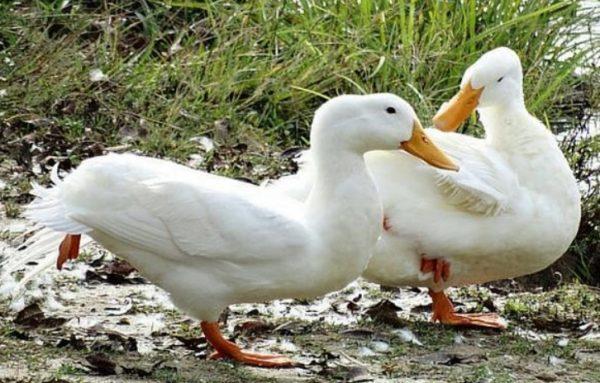 Мулард – гибрид пекинской и мускусной утки, отличающийся нежным и постным мясом