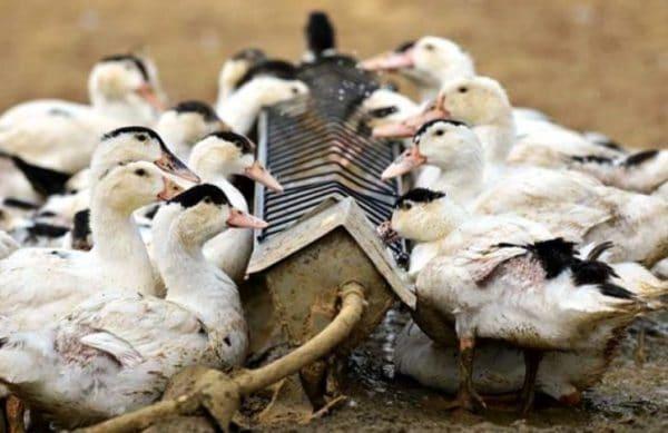 В период роста пера организм птицы испытывает потребность в белке