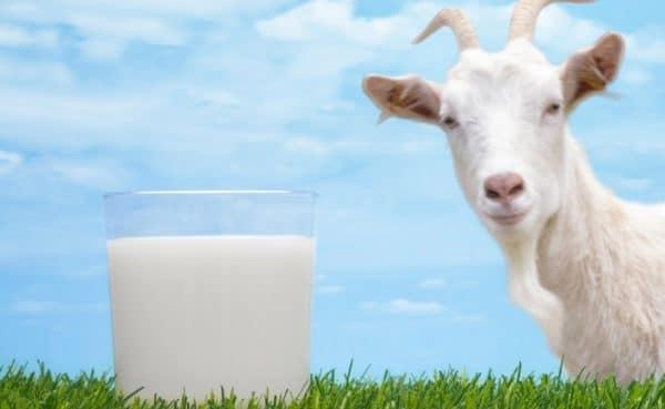 Простокваша из козьего молока