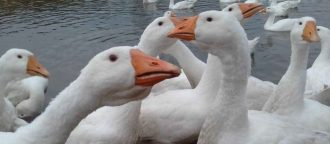 Чем и как кормить гусей в домашних условиях для начинающих