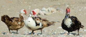 Сколько живут утки — OgorodGuru