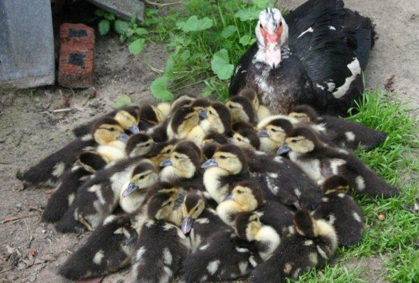Молодые утки начинают яйцекладку в возрасте 190-210 суток