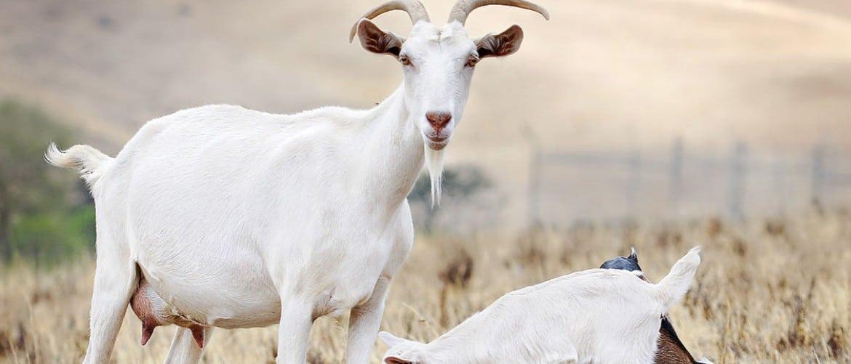 Состав козьего молока по сравнению с коровьим