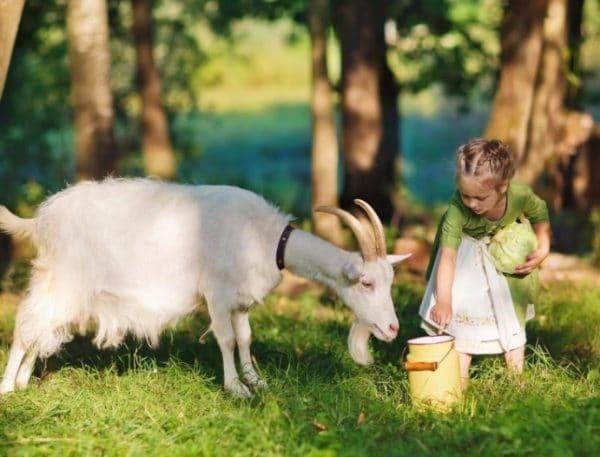 Высокая жирность и большее количество белка – основные отличия козьего молока от коровьего