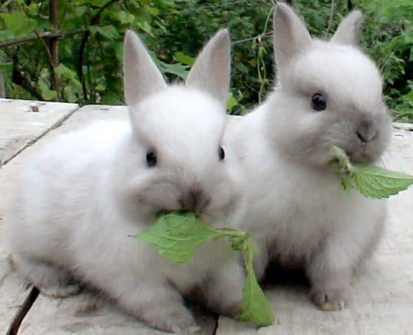 В жаркое время года и сильные холода кролики пассивны и отказываются спариваться