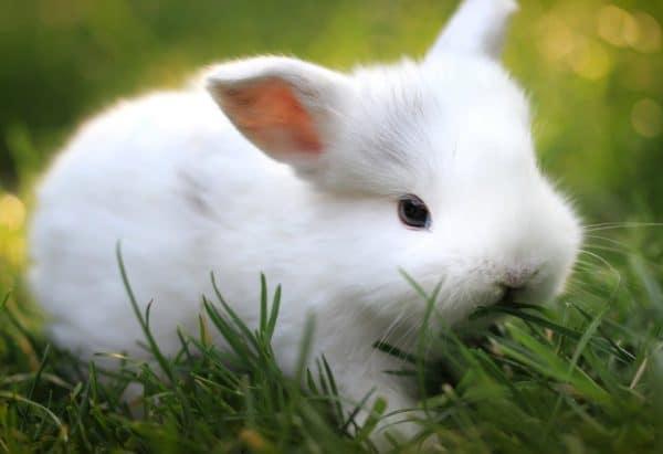 Чтобы спровоцировать у крольчихи желание к спариванию, необходимо поместить поблизости клетку с самцом