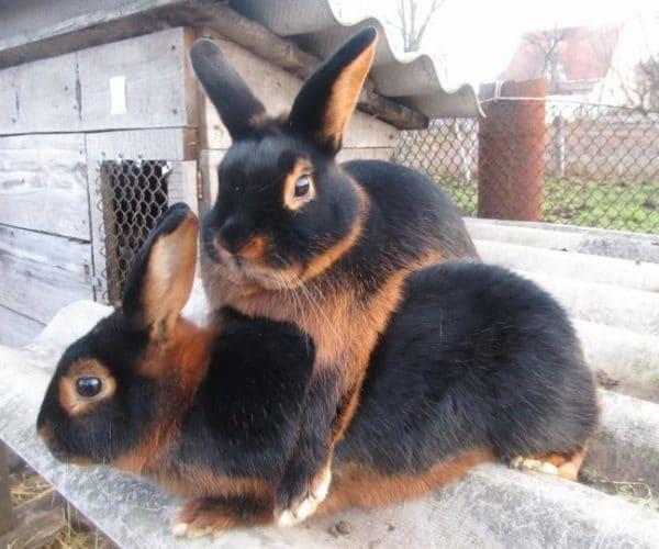 Через 2 недели путем пальпации крольчиху проверяют на наличие беременности