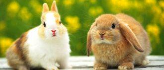 Как вовремя распознать заболевание ушей у кролика и начать лечение.
