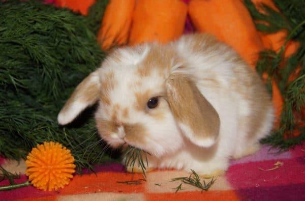 Если у кролика судороги, паралич или он лежит и не встает, скорее всего, его ждет смерть