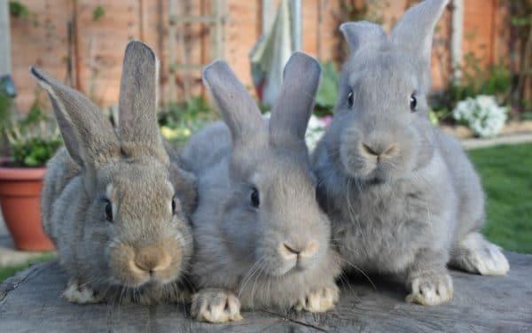 Высокая смертность кролей установлена именно от ВГБК - 95%