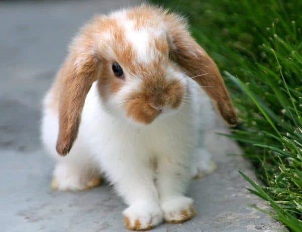 Мясо кроля, который умер от чумки, в пищу не пригодно