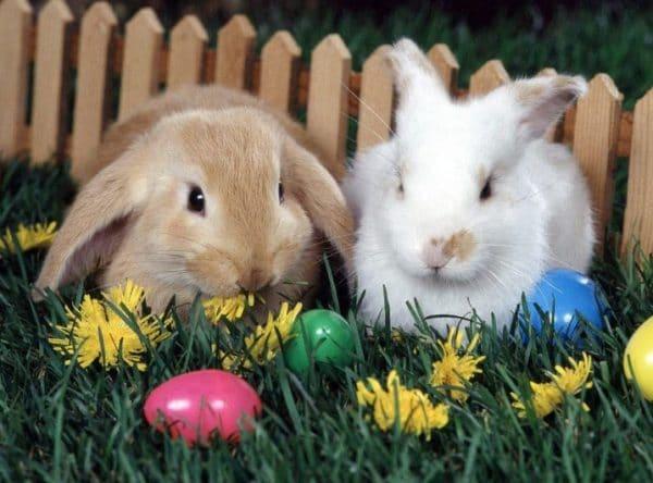 Кролики, у которых хорошая иммунная защита, не болеют кокцидиозом