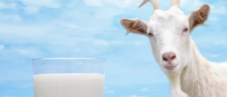 Сколько молока дают козы в сутки: когда начинает доится, сколько литров в день