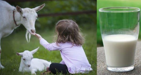 Козье молоко можно использовать в кормлении грудных детей, т.к. его состав схож с грудным молоком