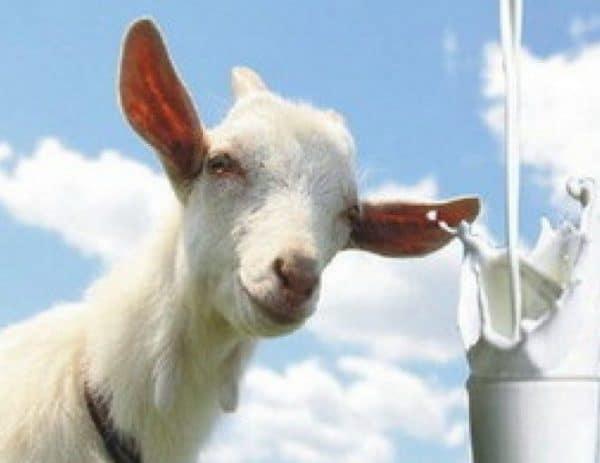 Козье молоко является диетическим продуктом, оно практически не содержит аллергенов.