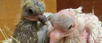Вертячка у голубей: симптомы, опасность и как лечить?