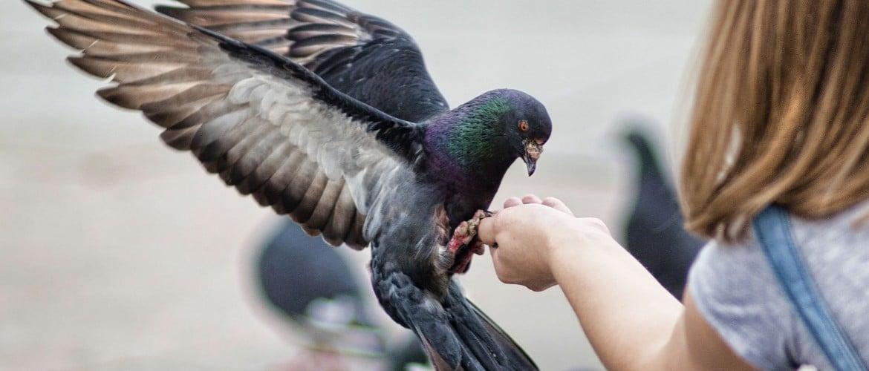 Что любят есть голуби