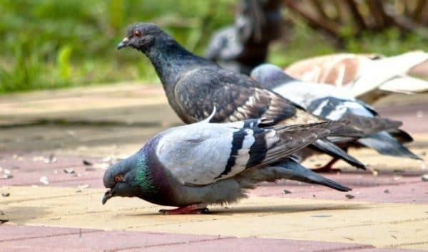 Голуби – один из самых распространенных видов птицы в городе