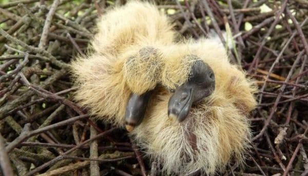 Кормление брошенных голубят ведется шприцем и тоненькой резиновой трубкой напрямую в клюв.