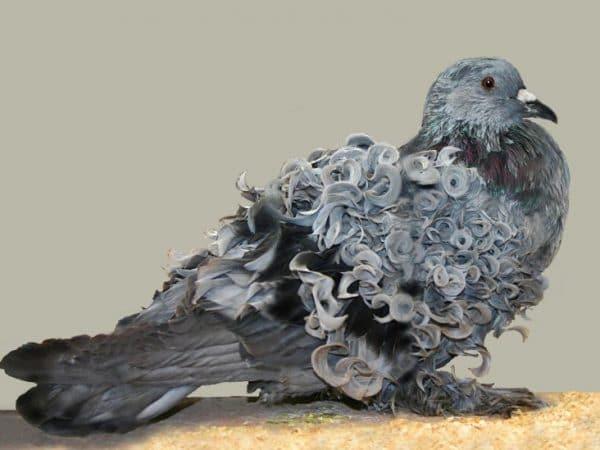 Составление рациона для голубят потребует особого подхода
