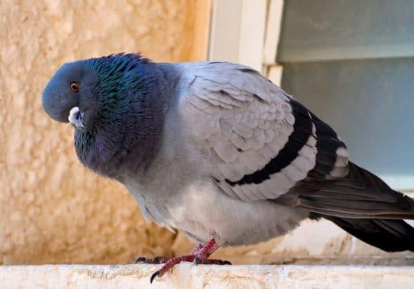 Основными составляющими рациона птицы в домашних условиях являются трава и злаки