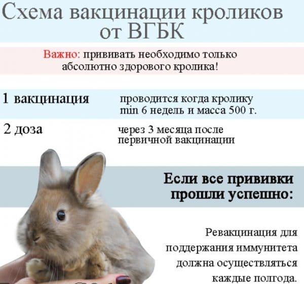 Схема вакцинации кроликов от ВГБК
