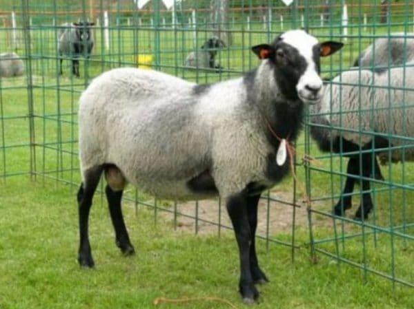Масса годовалого животного может быть очень разным и варьироваться от тридцати до ста и более килограмм