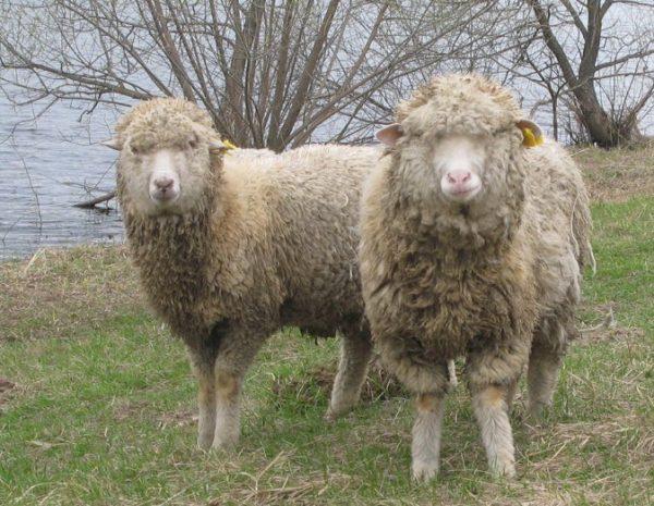 Убойный выход в пределах одной породы овец может различаться в зависимости от пола, возраста и упитанности животного