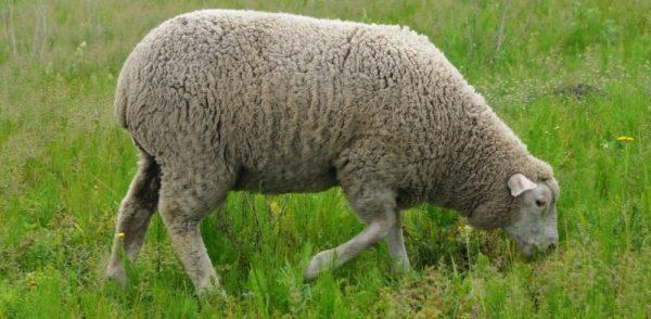 Отличить молодую баранину от мяса старого животного можно по цвету жира