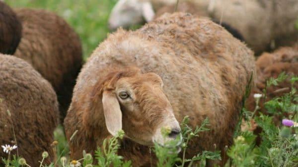 Самыми высокими темпами набора живой массы обладают молодые животные