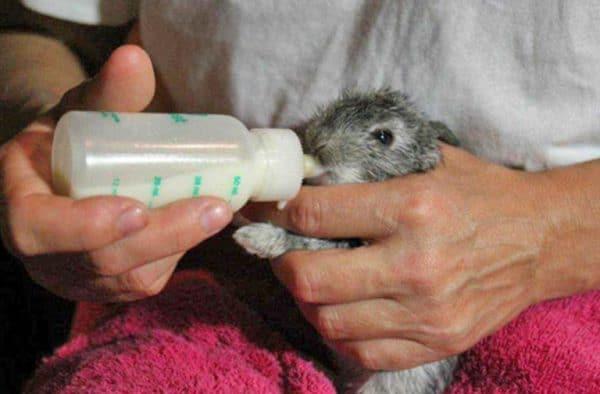 Лишённые материнского молока, зверьки имеют минимальный иммунитет к внешним воздействиям