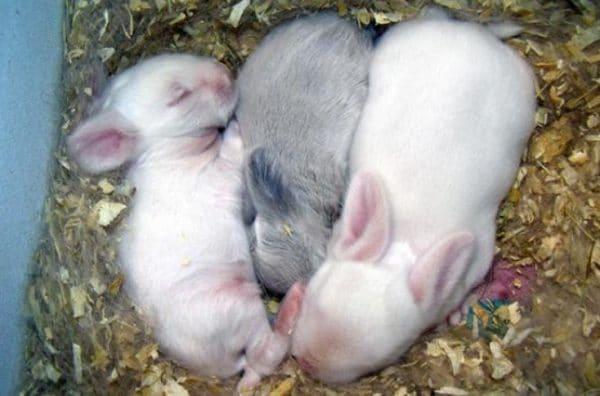 Вовремя первых прикормов крольчата будут отказываться от искусственной соски