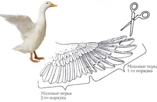 Уткам и гусям достаточно обрезать перья на одном крыле всего раз в год