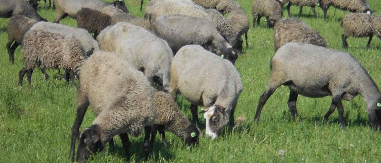 Романовская порода овец плюсы и минусы