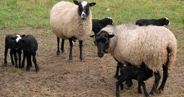 Романовские овцы неприхотливы в кормлении
