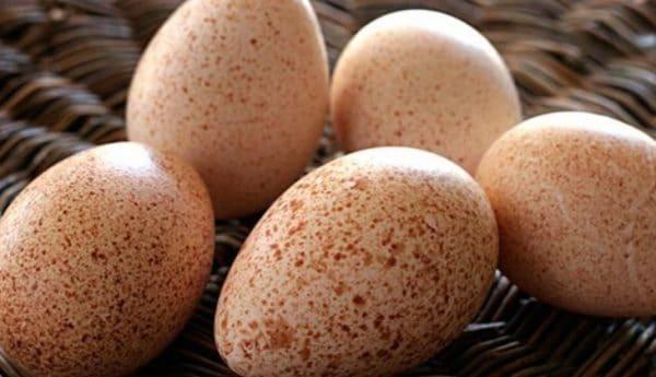 Инкубационные яйца индейки