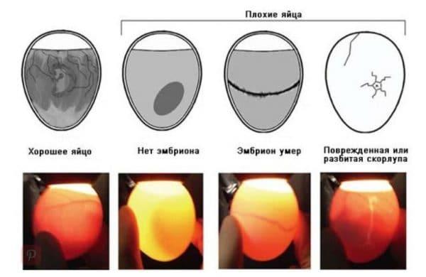 Как выбирать для инкубации яйца