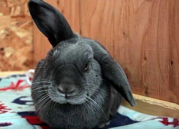 Первые признаки заражения проявляются спустя 1-14 суток после попадания паразита на уши кролика