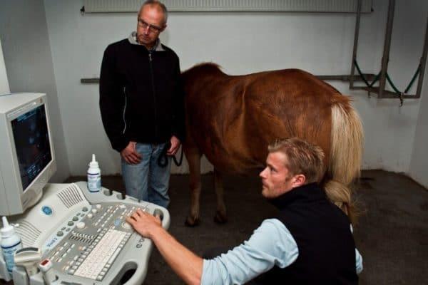 УЗИ является самым информативным и точным обследованием для определения беременности лошади