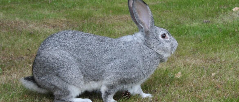 Технология выращивания кроликов бройлерное выращивание