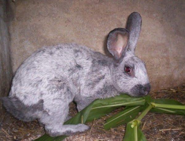 Кормление кроликов в домашних условиях не обходится без сена и веток различных деревьев