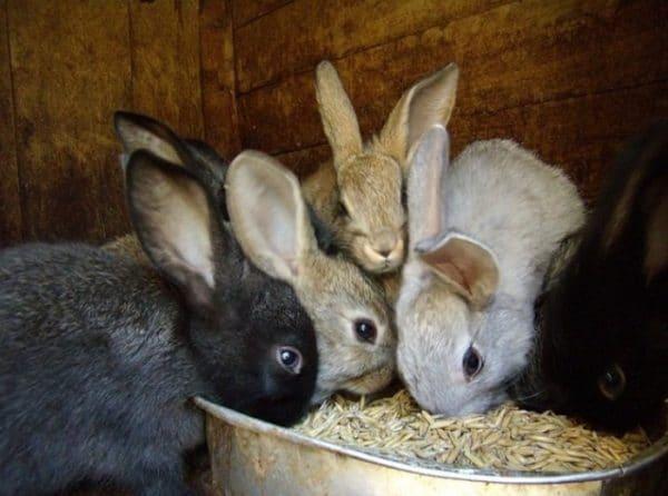 Изучая, как правильно кормить кроликов, обратите особое внимание на опасные корма, которых следует избегать