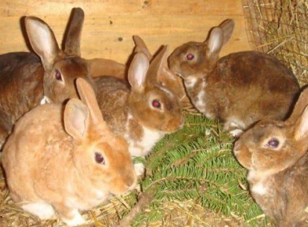 Основу зимнего рациона кроликов составляют грубые и концентрированные корма