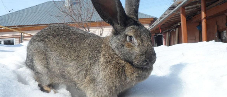 Кролики в домашних условиях содержание выращивание и разведение